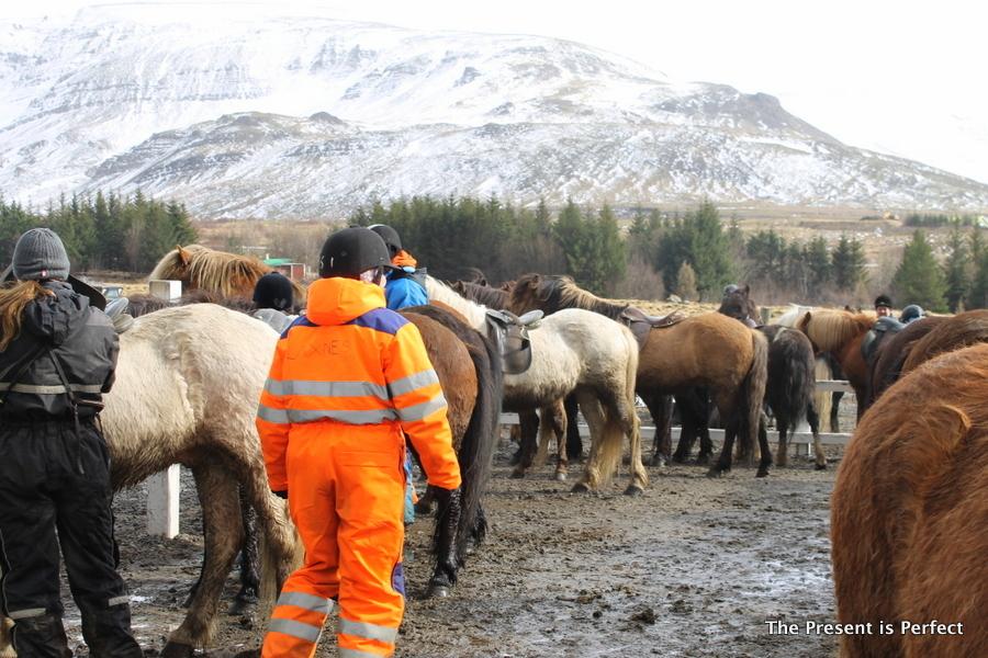 Horses Iceland 2