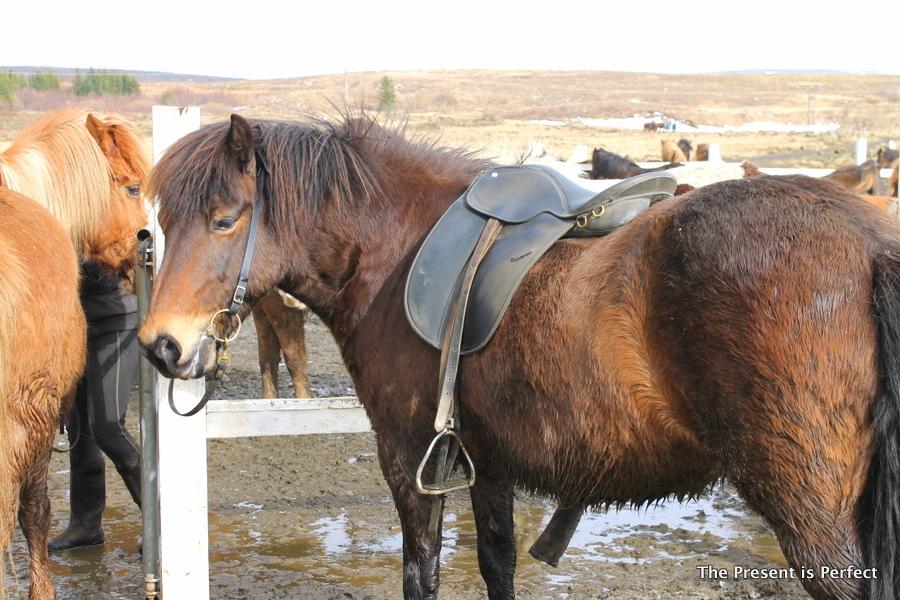 Horses Iceland 3