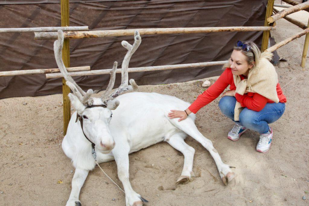 White reindeer rovaniemi